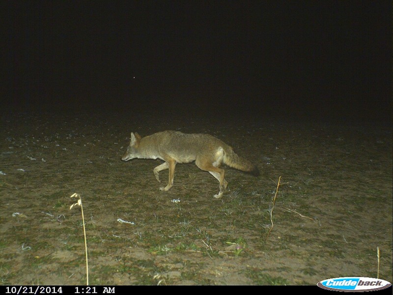 Coyotes take a lot of fawns each year during the spring. Control the coyotes in the winter to improve your deer numbers.