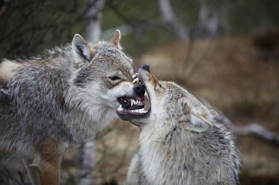 A wolf and coyote hunt in Montana is back on after a number of new sponsors decided to back the derby.