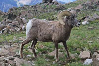 An anonymous hunter paid $100,000 for the chance to harvest a bighorn in Idaho. The funds will go toward improving sheep habitat.