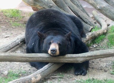 Bears will eat just about anything, but not even their stomachs can handle a mountain of chocolate and donuts.