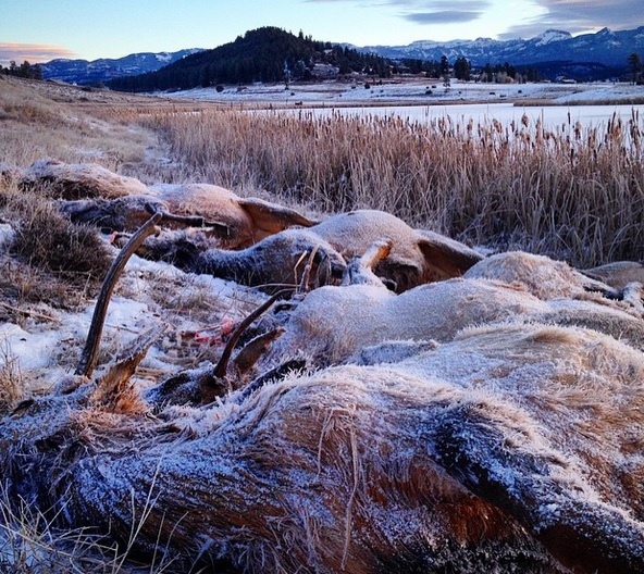 Colorado Springs Shooting Update: Photo: Colorado Woman Comes Across Frozen Elk Herd