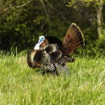 Federal Premium has listened to turkey hunters and developed an excellent new shell called 3rd Degree. Part of its pattern opens up quickly to give hunters an end at ultra-close range. Image copyright RichardBarrow/Getty Images.