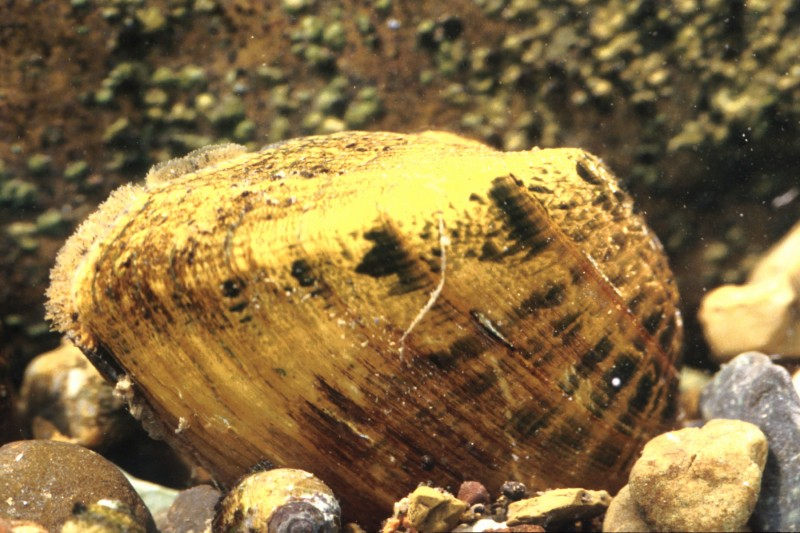Thankfully for fish, this face-biting mussel is relatively rare. Image courtesy USFWS.