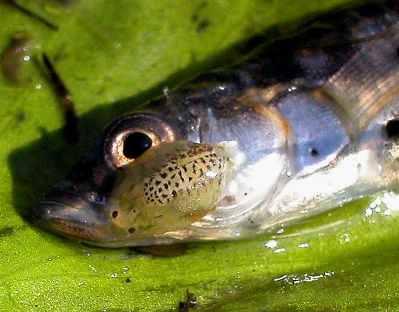 Fish lice one stickleback. Image from Michal Grabowski on the Wikimedia Commons.