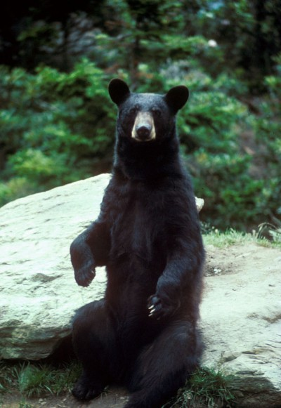 Be careful where you step, black bears can den in the strangest places.