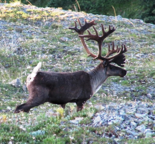 Mountain caribou are some of the most beautiful big game animals in North America.
