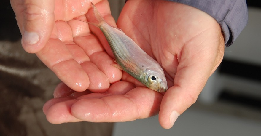Small pilchards make an excellent live bait for almost any game fish.