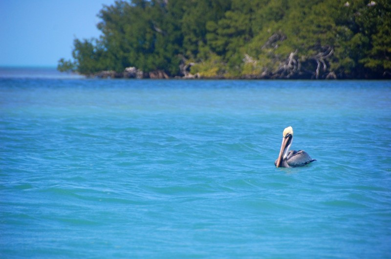 Pelicans can show you where the bait is. If they're gulping down fish, bring your net and approach with the wind at your back.