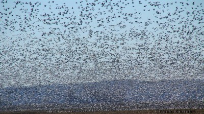 Snow geese have become so overpopulated that they are destroying their own habitat. Unlimited shooting of geese in the spring is encouraged in order to bring the population under control. Photo courtesy of Ducks Unlimited.