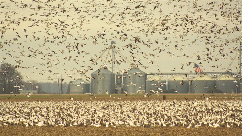 On their way north, snow geese feed on harvested crop fields. They're the perfect place to set out decoys and shoot to your heart's content. Photo courtesy of Ducks Unlimited.