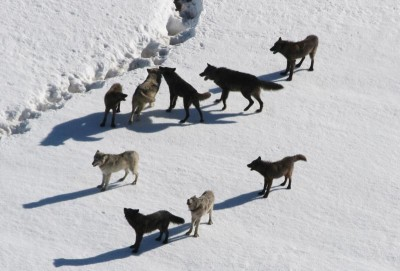 There are about 640 wolves in Michigan's Upper Peninsula, which are now currently no longer under the state's control.