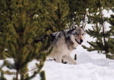 A growing wolf population could mean an end to protections for the species in Oregon.