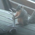 squirrel eating antlers