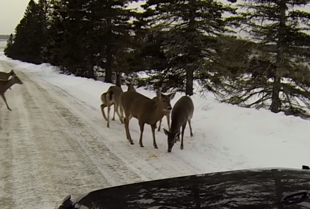 Video Maine Couple Gets Surrounded By Salt Licking Deer