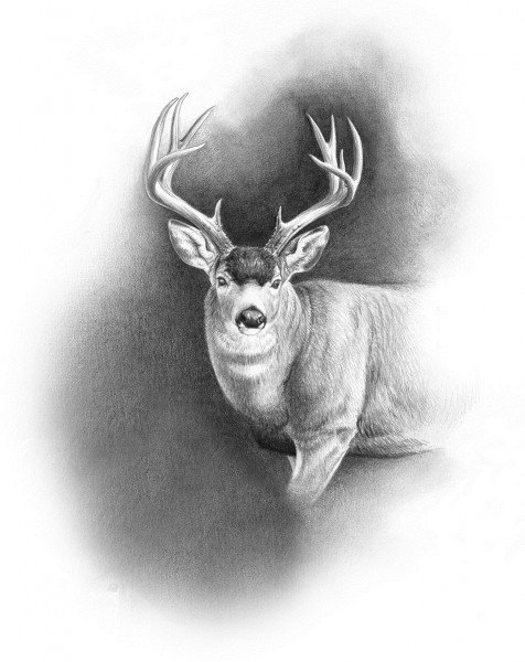 Though the Sitka blacktail population had allegedly rebounded prior to Dunn's arrival, he and his hunting partner saw little evidence of that fact. Illustration by Dallen Lambson.