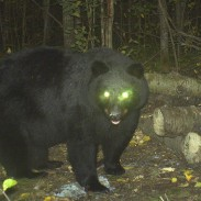 """Bears have a layer of tapetum lucidum on their retina which allows the eye to collect much more light. When you see the """"glow"""" of the bear's eye, or any animal that is primarily nocturnal, you are actually seeing light reflected off the animal's retina."""