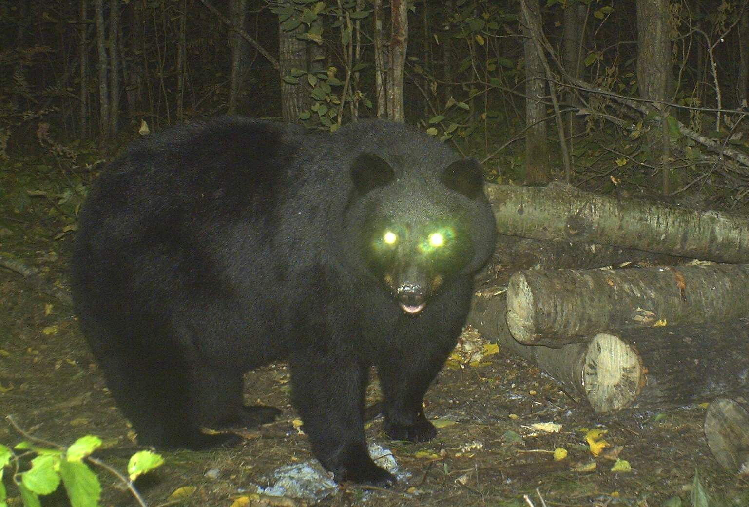 Bear eyes at night - photo#7