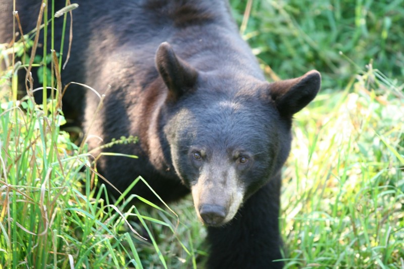 The bear's eyes may be much smaller than that of prey species of mammals such as deer, but they are optimized as a predator.