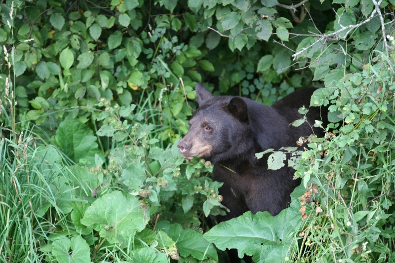A bear's eyes are positioned on the front of its face, much like a human's, because they are predators and depth perception is important for hunting. The eyes of prey species tend to be toward the side of the head and optimized to pick up movement around them rather than focus on what's in front of them.