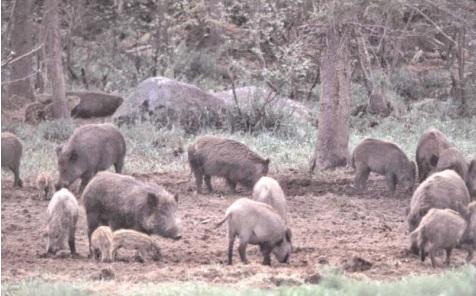 Georgia Bill Aims For Open Season On Wild Hogs
