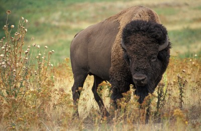 A herd of 600 hybrid buffalo in the Grand Canyon are causing headaches for park staff.