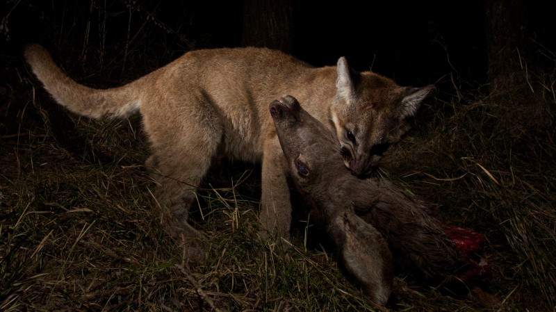 Another member of the family, P-13, sharing a mule deer with her own cubs.