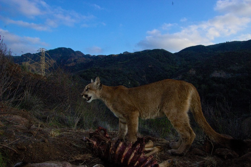 Cougars looking for cubs in los angeles