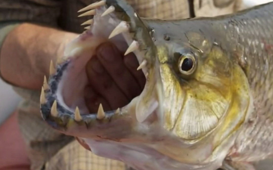 Image gallery pike teeth for Freshwater fish with teeth