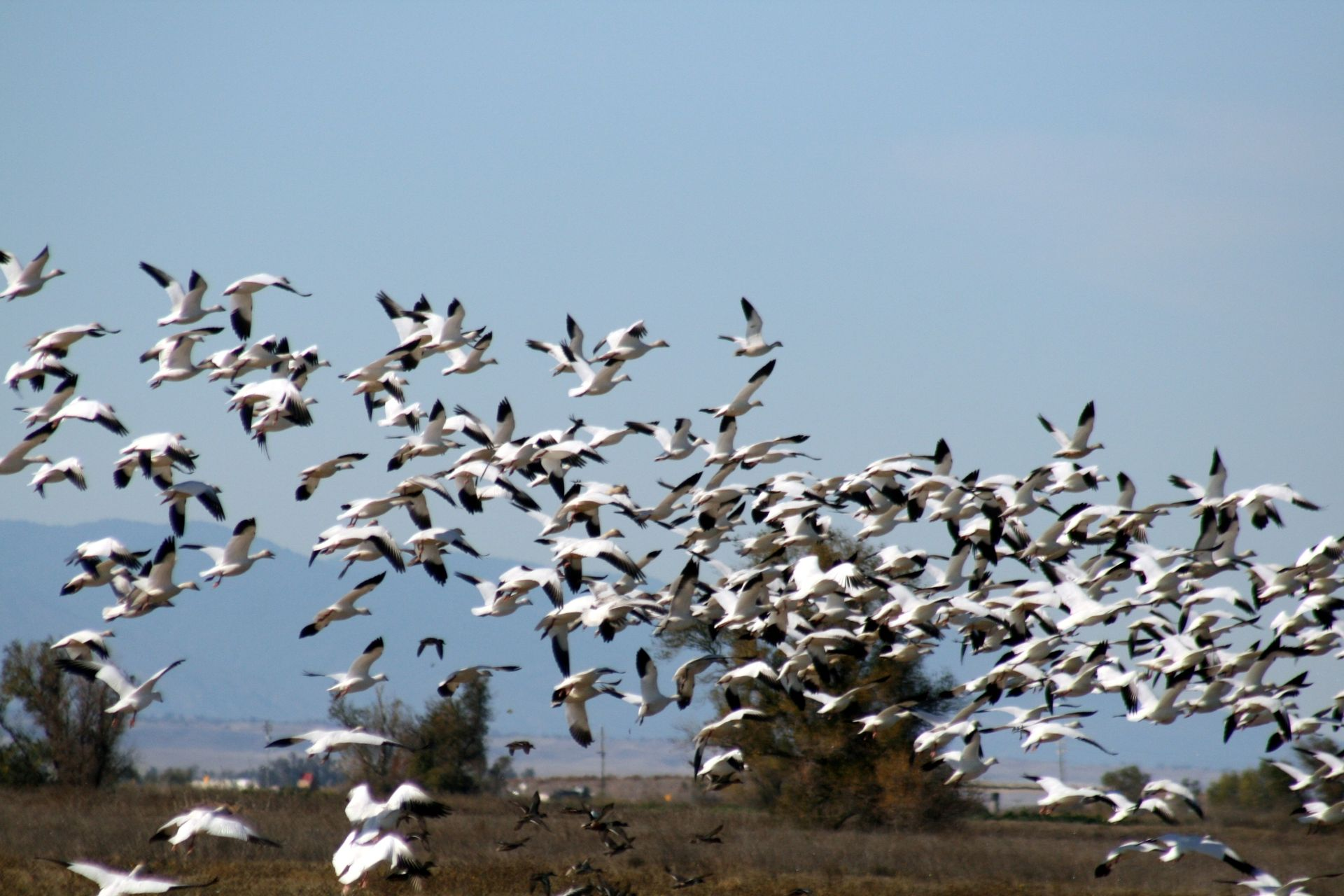 Thousands of migrating snow geese have died in Idaho, and experts say that a common disease may be the prime suspect.