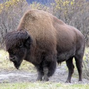 Guess who's back in the neighborhood? Alaskan wildlife officials are about to finally release  wood bison to the wild.