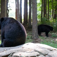 Alaska wildlife officials decided not to destroy one bear family after intervention from the governor.