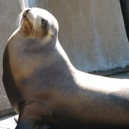 One unlucky angler found himself taking a dip after a sea lion stole his fish.