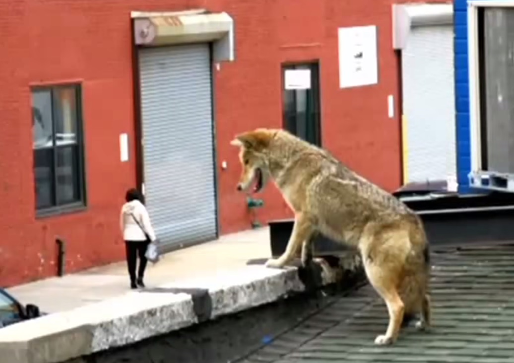 Coyote Found On Bar Roof In The Middle Of New York City