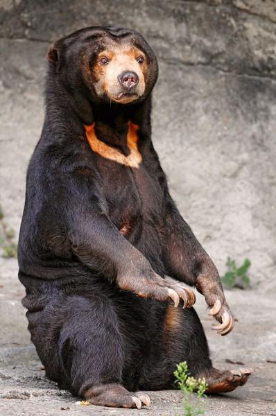 A typical female sun bear.