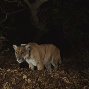 P-22, a male mountain lion originally believed to be from the Santa Monica Mountains, is now stuck in the crawl space of a local home.