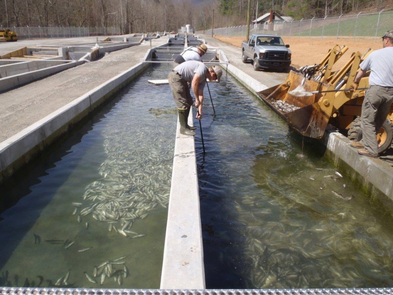 Hatchery workers clearing dead fish from their raceways.
