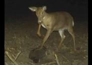 raccoonow