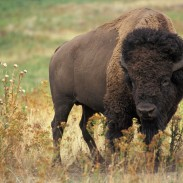 """Getting too close to a relatively """"tame"""" bison can result in a painful experience, as one tourist found out the hard way."""