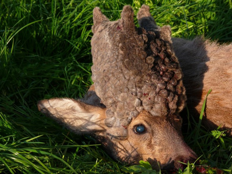 Is this a mutant deer? Not exactly.