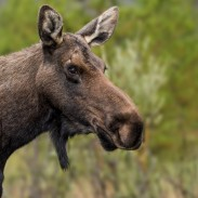 Minnesota biologists will no longer be collaring moose, although study continues on why the animals are dwindling.