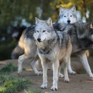 OR-7's pack may get some additional members soon, but will it stay in Western Oregon?