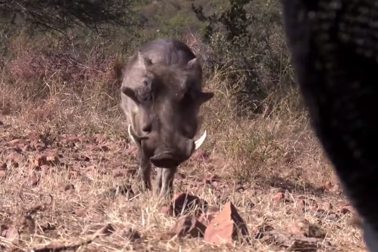 Video african warthog nearly stumbles into blind shot at one yard