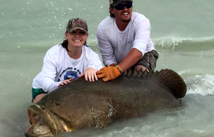 Video florida couple reels in giant grouper from shore for Goliath grouper fish