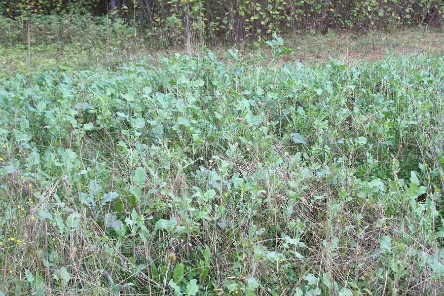 how to grow oats for deer
