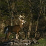 Once you've shot your buck, getting it out of the woods can be a challenge. Consider these methods the next time you're hauling a whitetail back to your truck. Image copyright BigFishDesign/iStockPhoto.