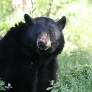 Wildlife officials say a wandering Michigan black bear has arrived in Indiana.
