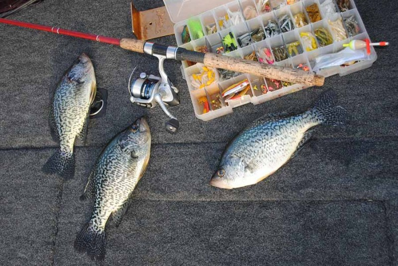 Black and white crappies are also present in the Great Lake state.