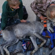 Wolves in Wisconsin are on the rise again, according to early survey results.
