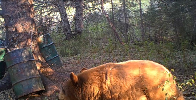 This Covert Game Camera photo captured from the video shows the blonde bear right before he took a bite out of the camera.