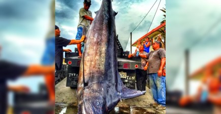 This massive marlin was the perfect birthday gift for one Hawaiian angler.